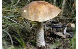 Подберезовик Leccinum scabrum