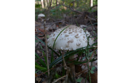 Гриб-зонтик пестрый Macrolepiota procera