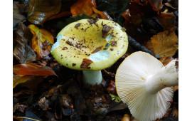 Сыроежка охристая Russula ochroleuca